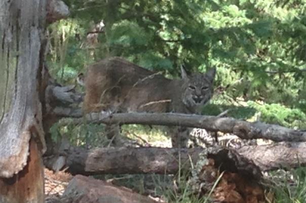 Boulder - Bobcat on Green Mountain